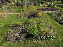 Carrot Tops Allotment My real view 5
