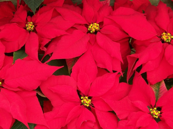 poinsettias-18199_1280