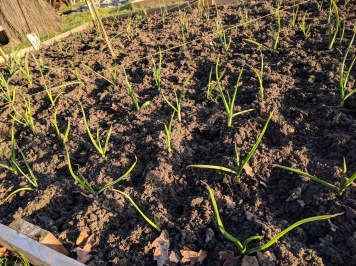 Weeding onion and garlic patches