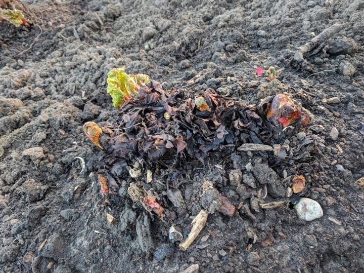 Splitting and plantingrhubarb