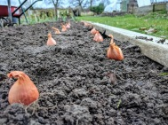 Planting Jermor Shallots 2