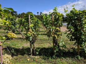 Painshill park, Vineyards 4